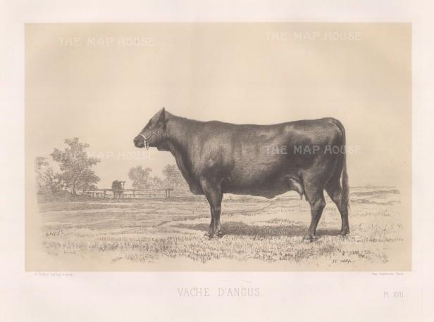 """Lemercier: Angus Cow. c1850. An original antique lithograph. 15"""" x 11"""". [NATHISp5428]"""