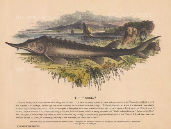 "SPCK: Sturgeon. 1860. An original hand coloured antique wood engraving. 12"" x 10"". [NATHISp6198]"