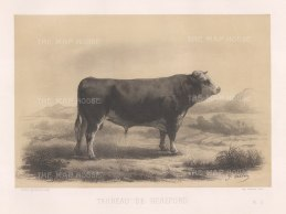 "Lemercier: Hereford Bull. c1850. An original antique lithograph. 15"" x 11"". [NATHISp6504]"