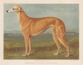 """Cassell: Greyhound. 1890. An original antique chromolithograph. 9"""" x 7"""". [NATHISp6729]"""