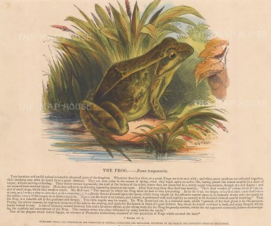 Frog, Rana temporaria: with descriptive text. Founded in 1698, the SPCK is the oldest Anglican mission and publishing house of the Church of England.
