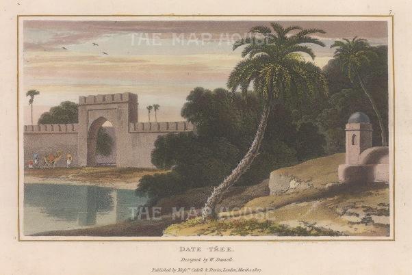 "Daniell: Date Tree. 1807. A hand coloured original antique aquatint. 8"" x 5"". [NATHISp6780]"