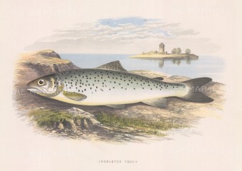 "Houghton: Lochleven Trout. 1879. An original antique chromolithograph. 12"" x 9"". [NATHISp6802]"