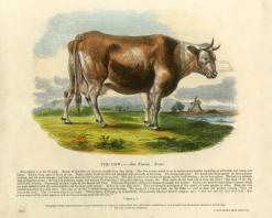 "SPCK: Cow. 1860. An original hand coloured antique wood engraving. 13"" x 11"". [NATHISp6877]"