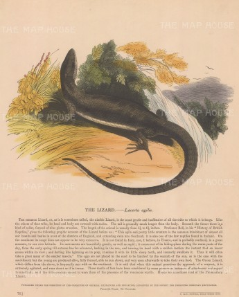 Lizard, Lacerta agilis: with descriptive text. Founded in 1698, the SPCK is the oldest Anglican mission and publishing house of the Church of England.