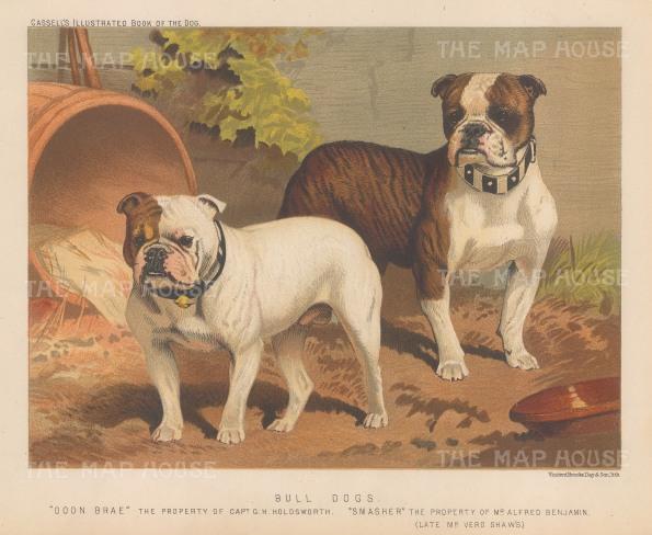 "Cassell: Bull Dogs. 1890. An original antique chromolithograph. 9"" x 7"". [NATHISp7040]"