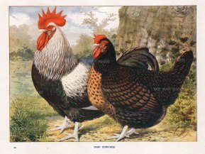 """Feathered Word: Dark Dorkings Chickens. 1911. An original antique chromolithograph. 11"""" x 9"""". [NATHISp7047]"""