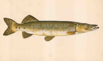 "Couch: Pike. 1878. An original antique chromolithograph. 9"" x 5"". [NATHISp7102]"