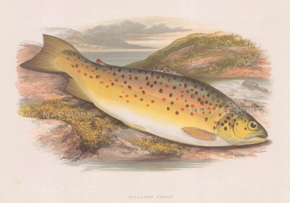 "Houghton: Gillaroo Trout. 1879. An original antique chromolithograph. 12"" x 9"". [NATHISp7111]"