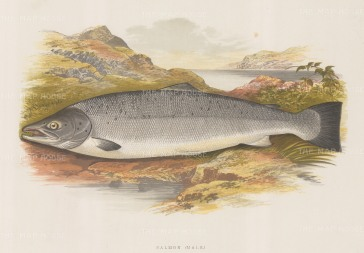 "Houghton: Salmon (male). 1879. An original antique chromolithograph. 12"" x 9"". [NATHISp7116]"