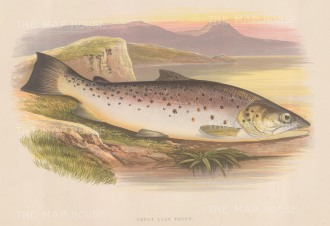 "Houghton: Great River Trout. 1879. An original antique chromolithograph. 12"" x 9"". [NATHISp7117]"