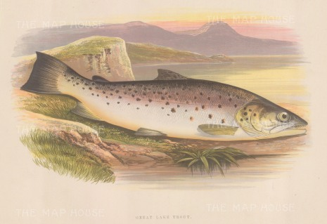 """Houghton: Great River Trout. 1879. An original antique chromolithograph. 12"""" x 9"""". [NATHISp7117]"""