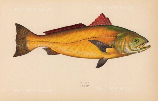 "Couch: Sciaena. 1878. An original antique chromolithograph. 9"" x 5"". [NATHISp7157]"