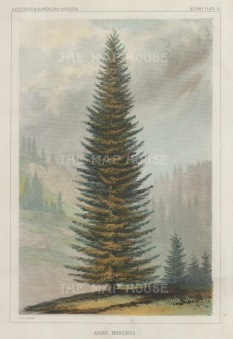 "U.S.P.R.R. Exp.: Menzies Spruce. 1857. A hand coloured original antique lithograph. 7"" x 10"". [NATHISp7456]"