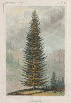 "U.S.P.R.R. Exp.: Menzies Spruce. 1857. A hand coloured original antique lithograph. 7"" x 10"". [NATHISp7456]"