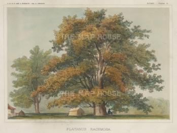 """U.S.P.R.R. Exp.: California Sycamore. 1857. A hand coloured original antique lithograph. 9"""" x 7"""". [NATHISp7460]"""