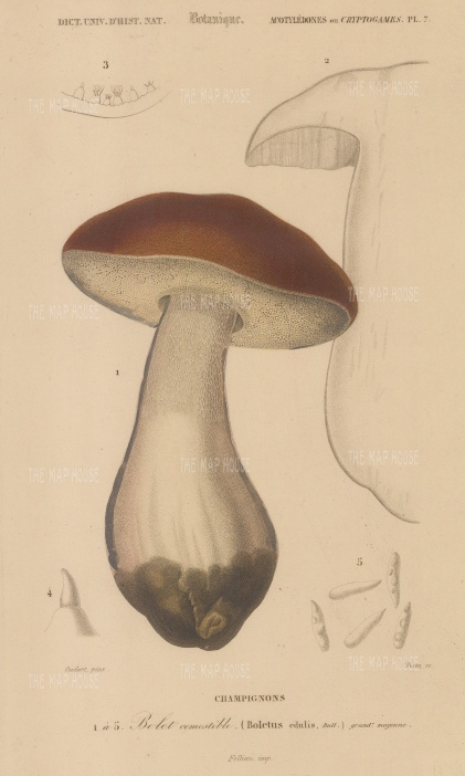 "d'Orbigny: Porcini Mushroom. 1849. An original hand coloured antique lithograph. 6"" x 9"". [NATHISp7466]"