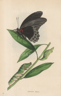 Great Mormon Butterfly with caterpillar: Papilio Memnon from India.