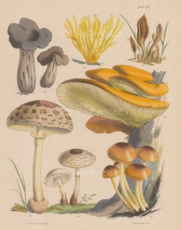 British Fungi: Helvelia, Clavaria, Geoglossum and four varieties of Agaricus.