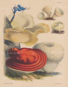 British Fungi: Stereum, Polyporus Albus, Periza Cupularis, Periza Cerea, Polyporus Lucidus and Lycoperdon.