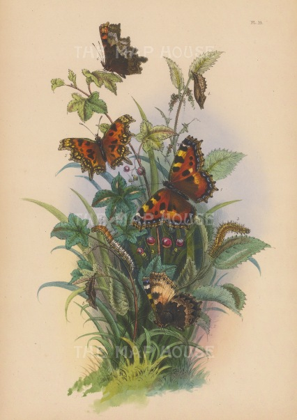 Small Tortoiseshell Butterfly, underside, caterpillar and chrysalis (1-4) and the Comma Butterfly underside, caterpillar and chrysalis. (5-8).