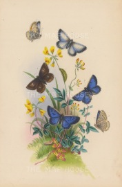 Large Blue Butterfly, female, underside (1-3) and the Chalkhill Blue Butterfly underside, caterpillar and chrysalis. (5-8).