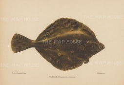 Plaice (Pleuronecles platessa): After Reinhold Thiele.