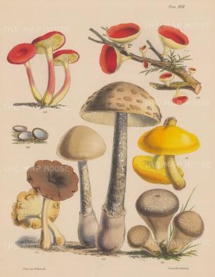 British Fungi: Cantharellus, Peziza (two varieties), Polyporus, Agaricus and Lycoperdon.