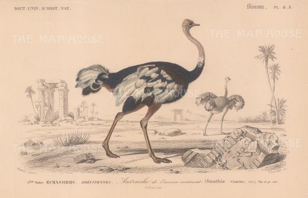 "d'Orbigny: Ostrich. 1849. An original hand coloured antique lithograph. 6"" x 9"". [NATHISp7711]"