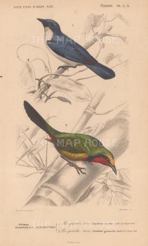 Shrike: Blue Shrike and Red throated Shrike. Lanius bicolour and guttaralis.