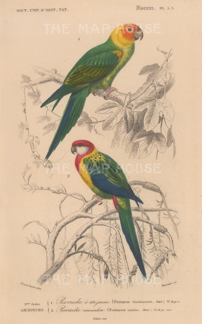 "d'Orbigny: Parrots. 1849. An original hand coloured antique lithograph. 6"" x 9"". [NATHISp7714]"