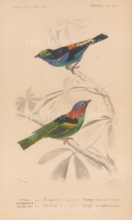 Paradise and Blue capped Tanagars. Tanagra tatao and cynocephala.