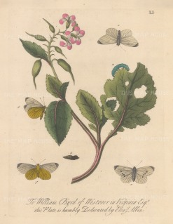"""Albin: White mock butterfly on a radish with chrysalis and moths. 1749. An original colour antique copper engraving. 8"""" x 10"""". [NATHISp7717]"""