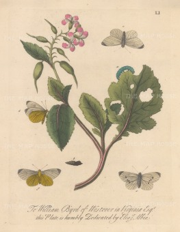 "Albin: White mock butterfly on a radish with chrysalis and moths. 1749. An original colour antique copper engraving. 8"" x 10"". [NATHISp7717]"