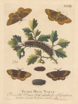 """Albin: Small and greater Egger caterpillar on a White Thorn with chrysalis and moths. 1749. An original hand coloured antique copper engraving. 8"""" x 10"""". [NATHISp7718]"""