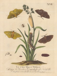 """Albin: Drinker caterpillar on Grass with chrysalises and male and female moths. 1749. An original hand coloured antique copper engraving. 8"""" x 10"""". [NATHISp7719]"""