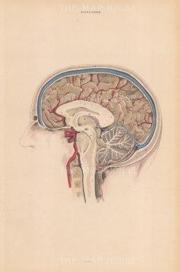 Brain: Lateral left hemisphere of Cerebrum(A), Medullary matter (E), Inferior longitudinal sinus (G) Margin of the Cranium (Y). Plate LVIII