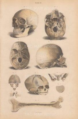 Skull: Anterior and Basilur view, Internal Basilur of Carnium, Vertical section, Fetal skull, and vertebra, patella and femor. Plate IV.