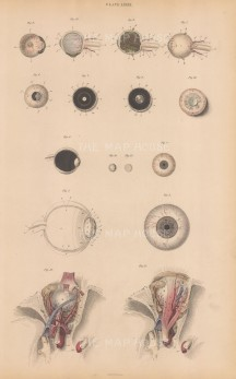Eye: 15 details of cornea, iris, pupil, muscles, appendages, humours, coats, arteries, and veins of eye and orbit. Plate LXXXIII.