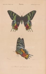 Madagascan Sunset Moth: Urania Riphaeus.