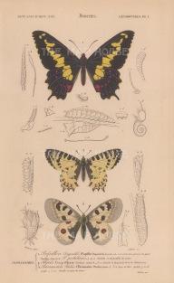 Swallowtail, Easter Festoon, and Phoebus Apollo: Papilio Duponcheli, Allancastria cerisyi and Parnassius phoebus with segmented details and caterpillars.
