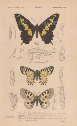 Swallowtail, Easter Festoon, and Phoebus Apollo: Papilio Duponcheli, Allancastria cerisyi and Parnassius phoebus with segmented details and caterpillars.
