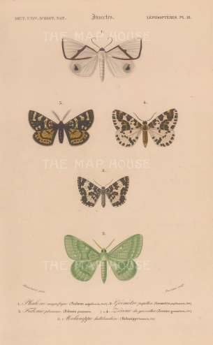 Satin Moth, Fidonia moth, Magpie moth, Argent & Sable moth and Large Emerald moth: Phalaena Magnificaria, Fidonia plumistaria, Zerene Grossularia, Melanippe Hastaria and Geometra Papilionaria.