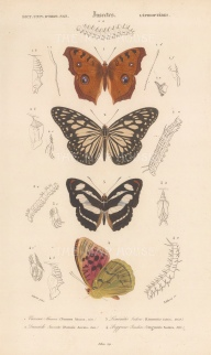 Peacock Pansy, Wood Nymph, Colour Sergeant, and the Cardinal butterfly: Junonia almana, Ideopsis juventa, Limenitis Jadera and Argynnnis Pandora.