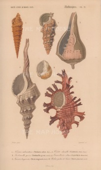Murex: Six varieties of murex and conch shells with key.