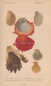 Oyster: Four varieties of oyster and clam shells with key.