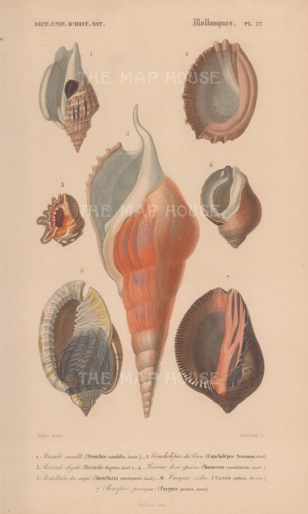 Strombus: Seven varieties of conch and mollusk shells with key.