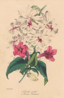 "Paxton: Calanthe Vestita. 1849. An original hand coloured antique lithograph. 6"" x 9"". [FLORAp2553]"