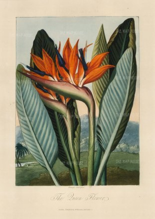 Queen Flower (Bird of Paradise): Set in a romanticized landscape. Native to South Africa, it was brought to the Royal Botanic Gardens in the 1780s.