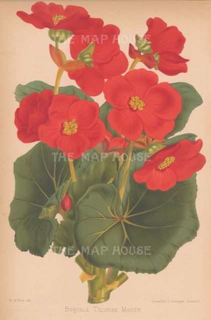 "Fitch: Begonia. c1880. An original antique chromolithograph. 7"" x 10"". [FLORAp2791]"
